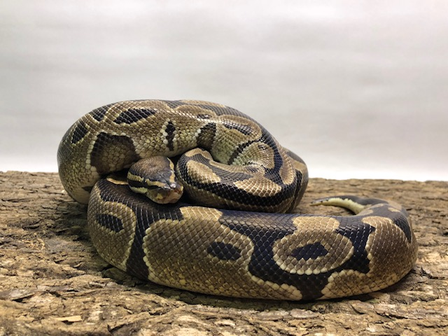 Photo of ball python