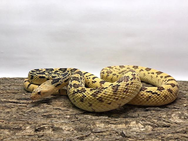 Photo of a bull snake.